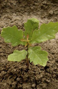 oak-seedling small